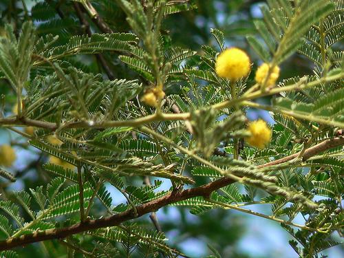 Babul Tree Ayurvedic Medicinal Plants Kumarpati S Blog
