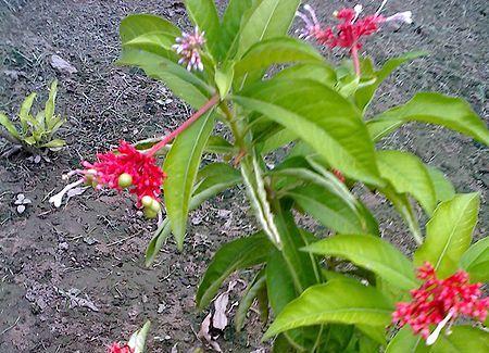 Sarpagandha - Rauwolfia serpentina